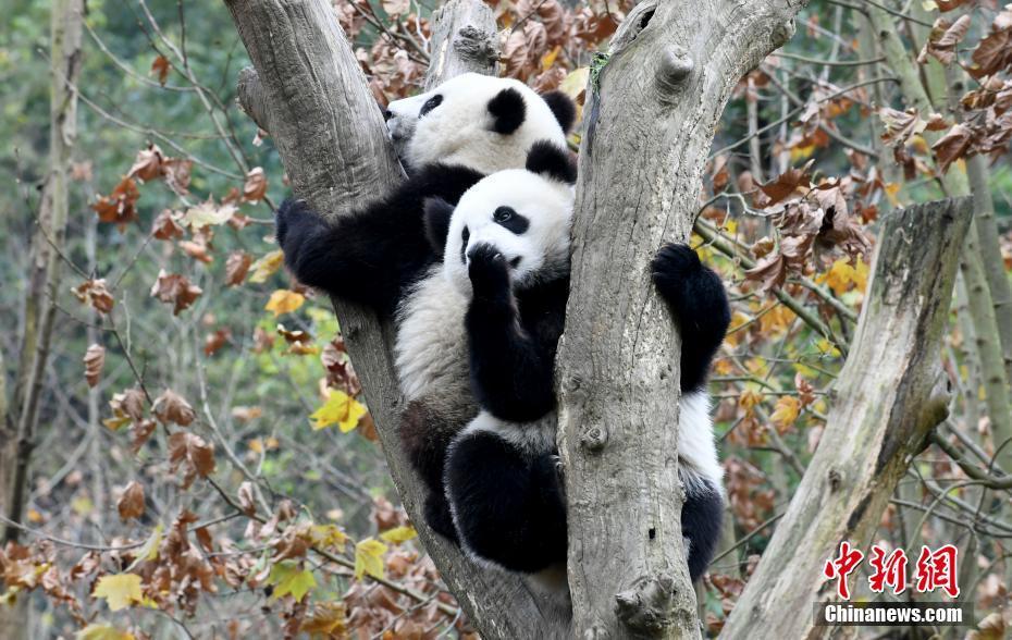 大熊猫冬日卖萌憨态可掬迷倒粉丝